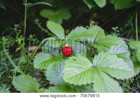 Wild Strawberry Forest