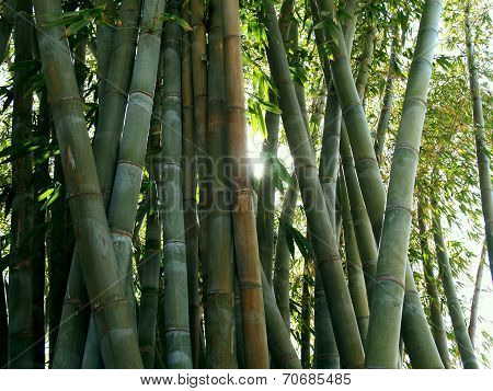 Giant Bamboo Forest