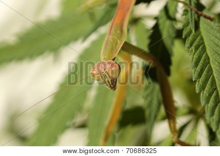 A Female European Preying Mantis, guards her Female Cannabis Sativa Medical Marijuana Plant from other insects. Preying Mantids are a natural pesticide because they eat other insects.