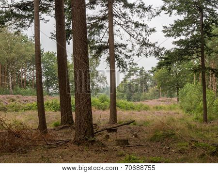 View Of Heathland From The Forest