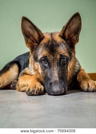 German Shepherd puppy posing lying down on the floor