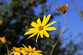 stock photo of jerusalem artichokes  - Jerusalem artichoke flowers close up in summer - JPG