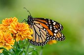 foto of monarch  - Monarch butterfly  - JPG