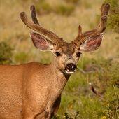 stock photo of mule deer  - A Mule Deer buck with uneven antlers covered in velvet in Colorado - JPG