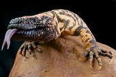 picture of gila monster  - The Gila monster is the biggest  - JPG
