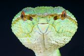 stock photo of tree snake  - Temple pit vipers are medium sized tree snakes capable of  - JPG