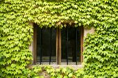 picture of ivy vine  - Window surrounded by ivy plants - JPG