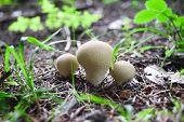 picture of boletus edulis  - Edible mushrooms with excellent taste Boletus edulis - JPG