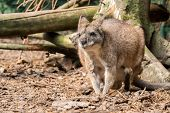 stock photo of wallabies  - Small red necked wallaby in forest running - JPG