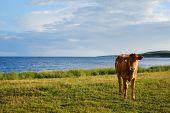 image of sea cow  - Lone cow stood in a coastal field - JPG