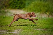 foto of pit-bull  - chocolate american pit bull terrier puppy outdoors - JPG