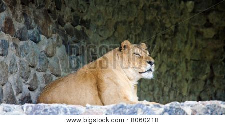 Lioness On Stony Prominence