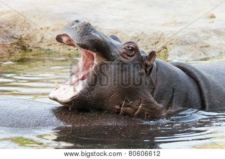 Hippo