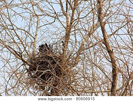 Nest of crow.