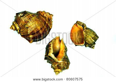 Three Marine Sea Shells Against A White Background