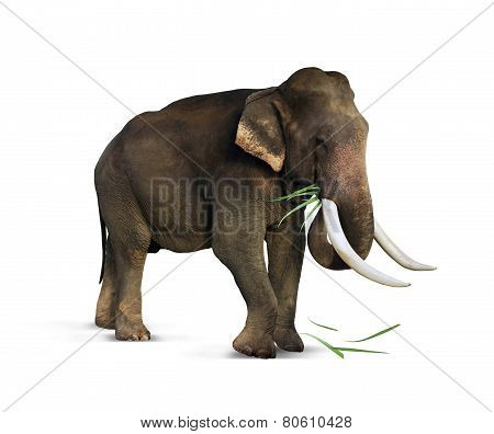 Indian elephant eats grass