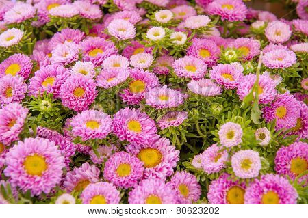 A Frame Filled With Rose Asters