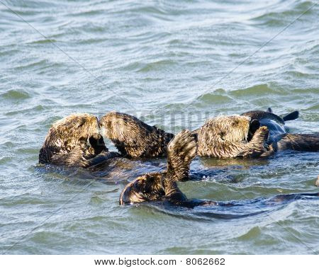 Kissing Sea Otters