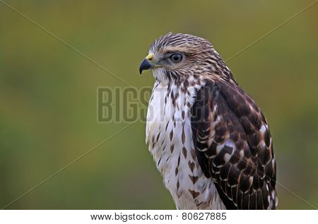 Broad-winged Hawk Close-Up