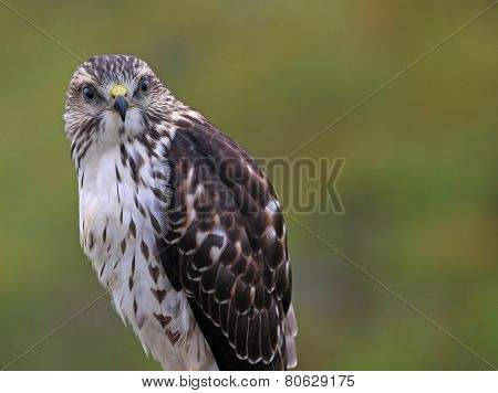 Broad-winged Hawk Looking Back