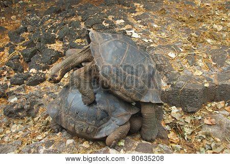 Galápagos Giant Tortoises Mating in Santa Cruz Island