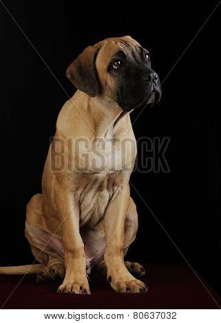portrait of a Mastiff puppy