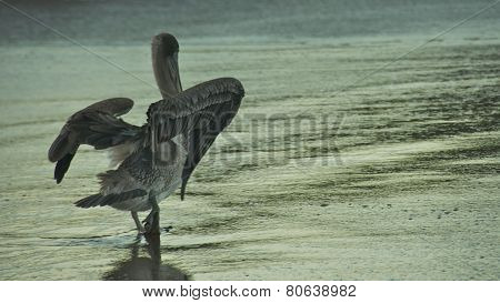 Pelican in Galapagos Islands