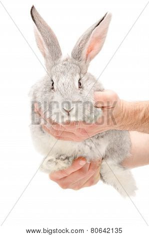 Portrait of a gray rabbit in male hands