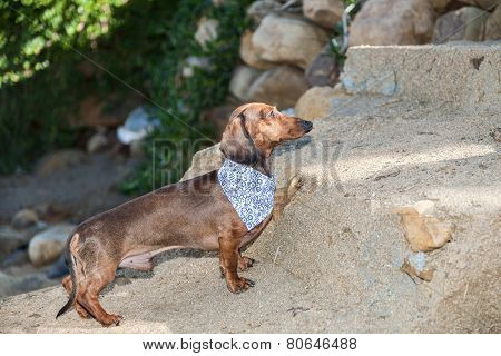 Dachshund Dog On The Field