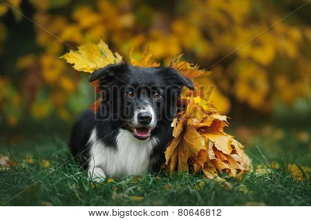 Happy Puppy Border Collie