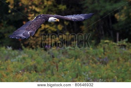 Bald Eagle Flying in the Rain
