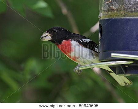 Alert Red-Breasted Grosbeak