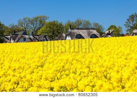Canola And Buildings