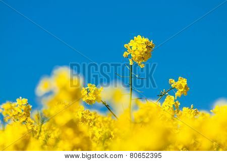 Canola And Blue Sky