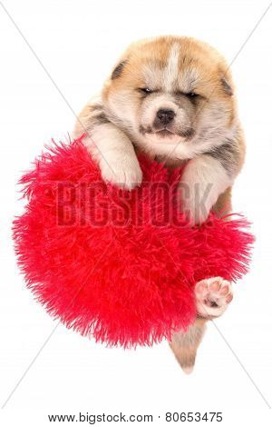 Akita-inu, akita inu dog puppy. Portrait isolated on white