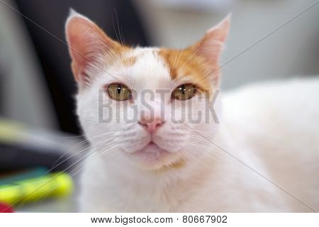 Portrait Of White And Orange Cat Looking At Viewer