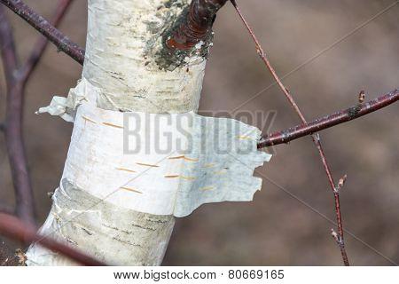 White birch trunk.