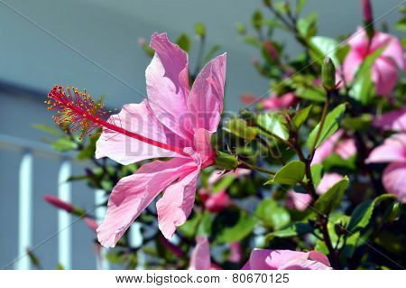 Chinese hibiscus Latin name rosa sinensis flowering