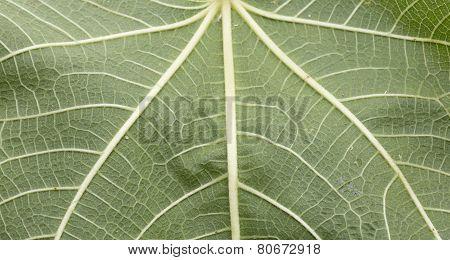 Texture Leaf Fig
