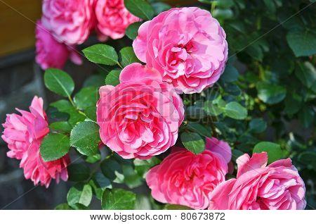 Rosa odorata