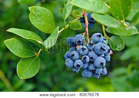 Ripe blueberries on bush