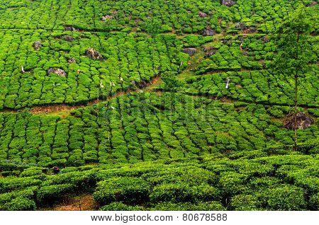 Workers collecting Tea at plantation, South India