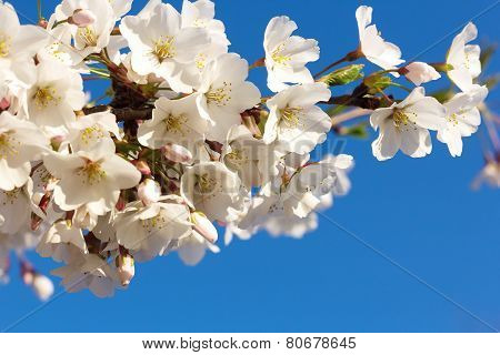 Cherry blossoms branch at close up on a blue sky background.