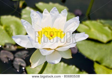 White Lotus Gigantea Albert De Lestang(nymphaeaceae)