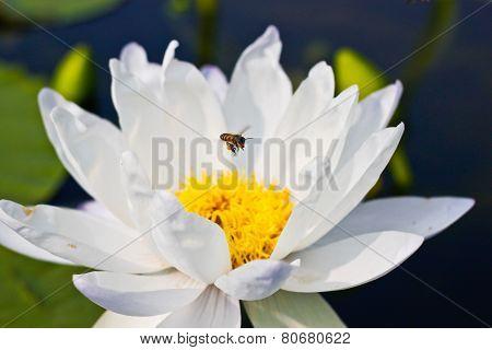 Bee On White Lotus (gigantea Albert De Lestang) With Yellow Stamens