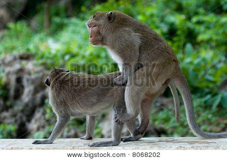 reproduce monkeys