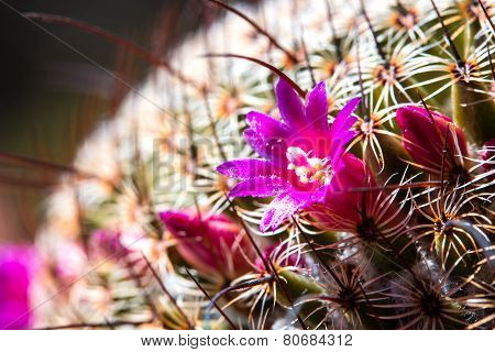 This Is Cactus Flower.