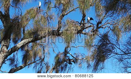 Australian Pied Cormorants and Australasian Darter