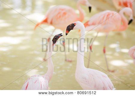 Couple Of Pink Flamingo Portrait