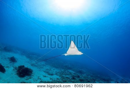 Spotted Eagle Ray And Sunbeams